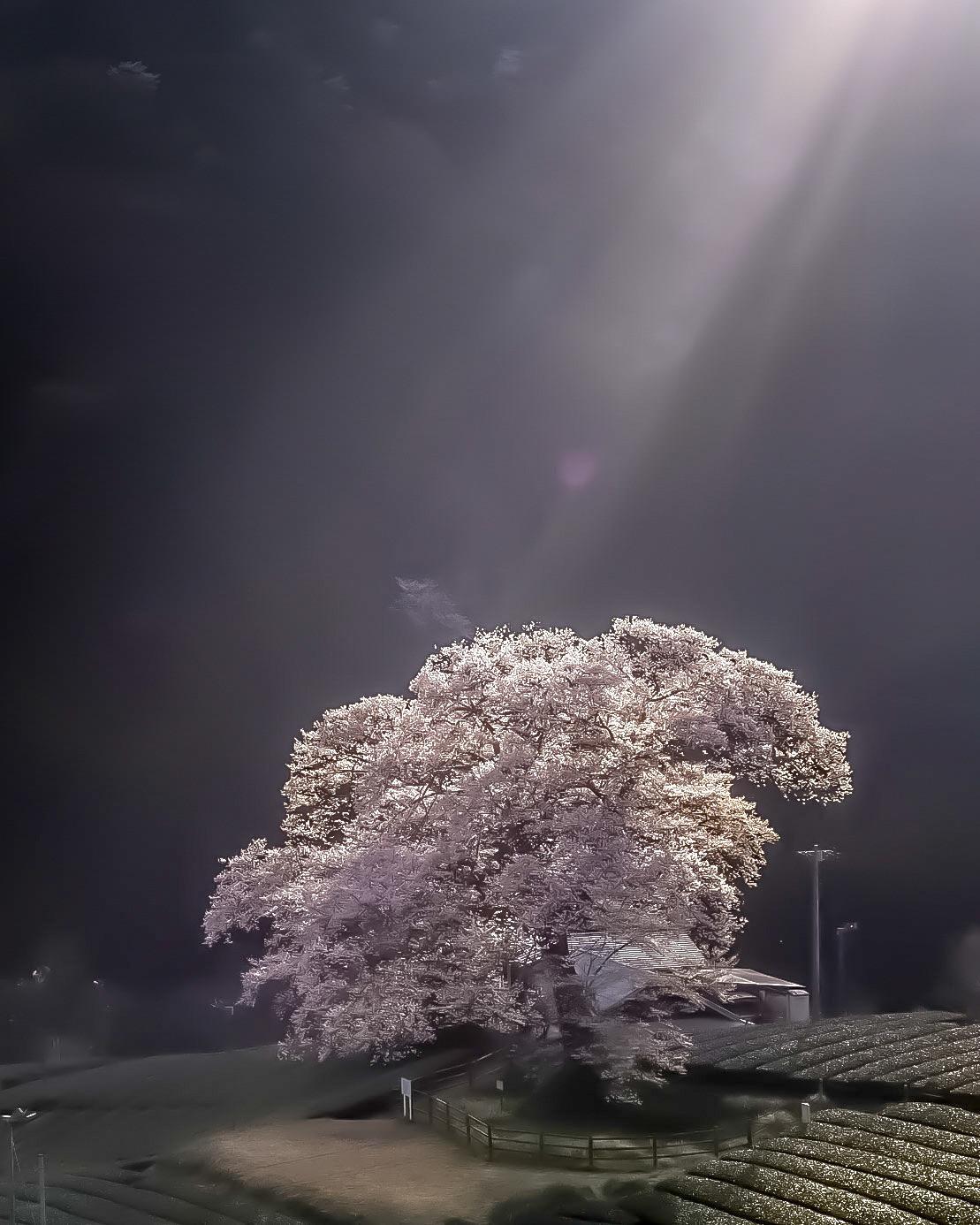 フォトコンテスト「桜」2018審査員賞