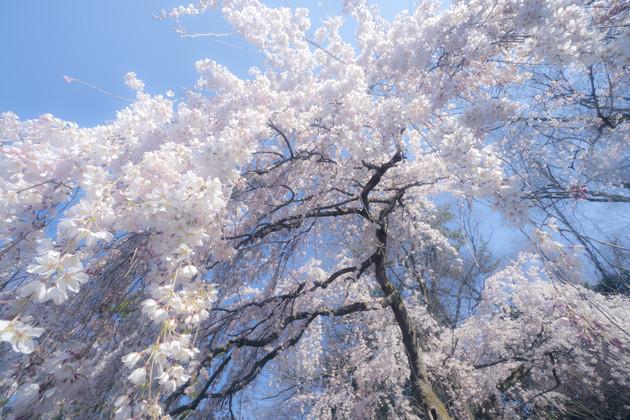 京都御苑 近衛邸跡のしだれ桜