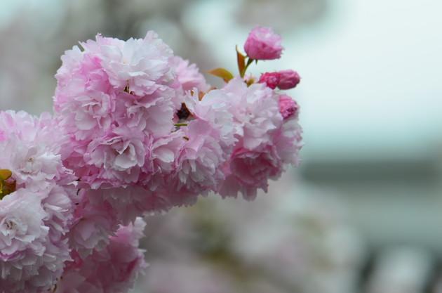 大阪造幣局八重桜のスヌーピー