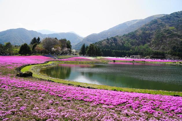 山梨県南都留郡富士河口湖町本栖212 富士芝桜まつり
