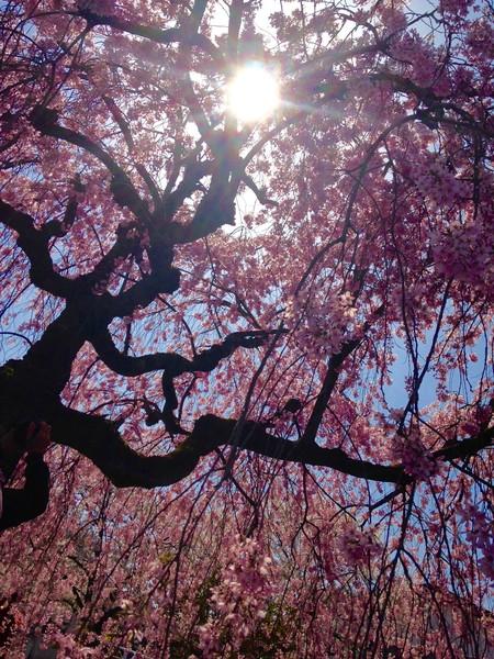 日中線のしだれ桜、福島県喜多方市