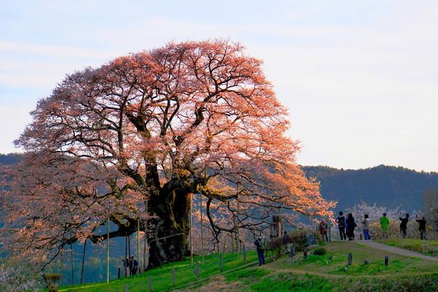 岡山県真庭市 醍醐桜
