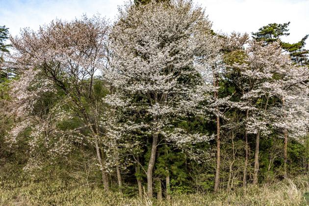 無名の桜スポット 保呂毛