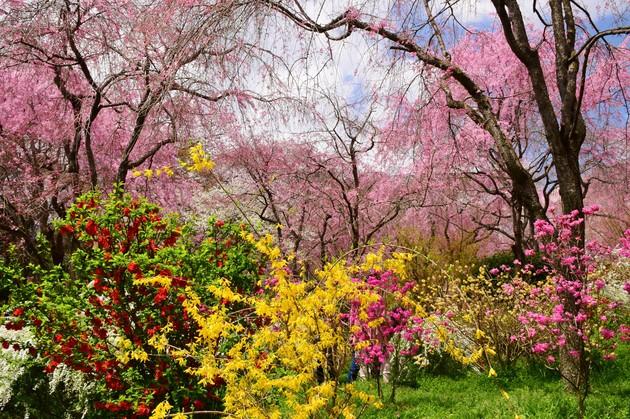 京都 原谷苑