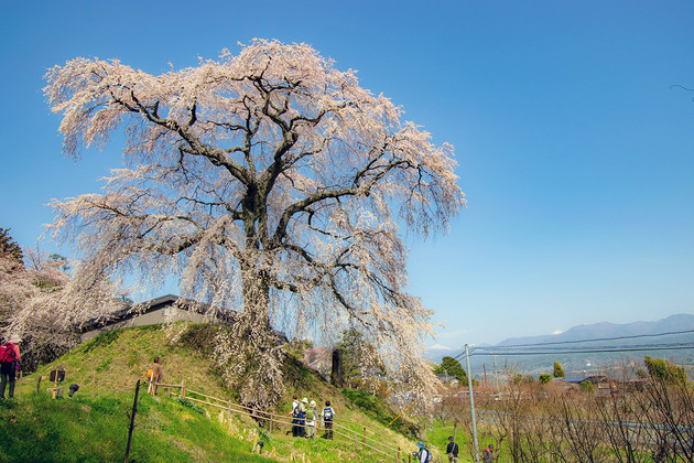 麻績の里 石塚桜