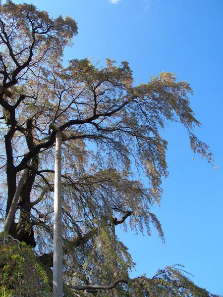 福島県三春町 三春の滝桜