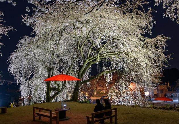 福岡県うきは市  身延桜