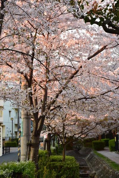 枚方市 朝日と桜のコラボ
