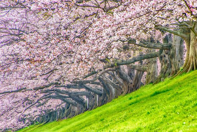京都 背割堤