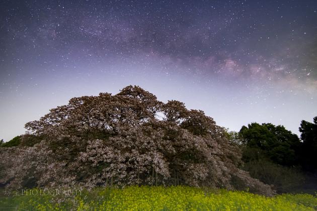 印西市 吉高の大桜