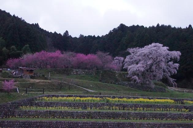 大宇陀の又兵衛桜(奈良県)