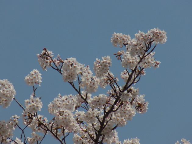桜堤、埼玉県熊谷市