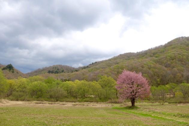 桧原の一本桜、福島県北塩原村