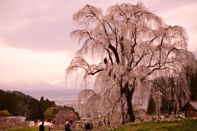 長野県高山村水中のしだれ桜