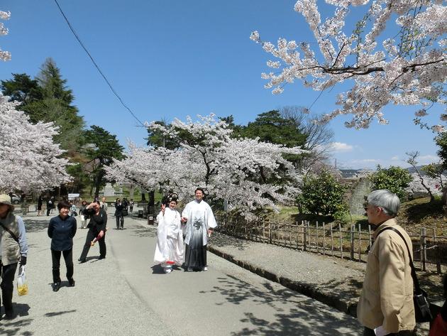 4/24、会津の鶴ケ城、桜ほぼ満開