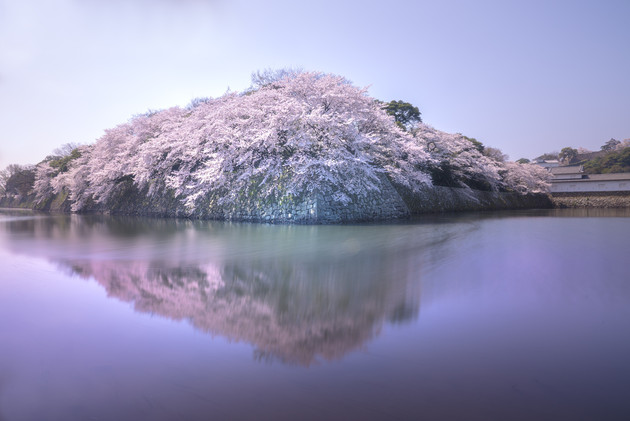 彦根城石垣の桜