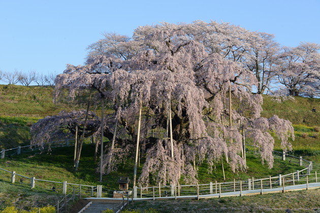 三春の滝桜 朝日