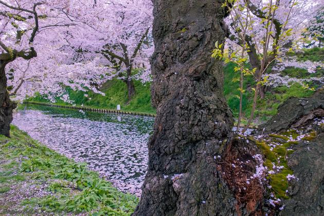 青森県弘前市の弘前公園外堀