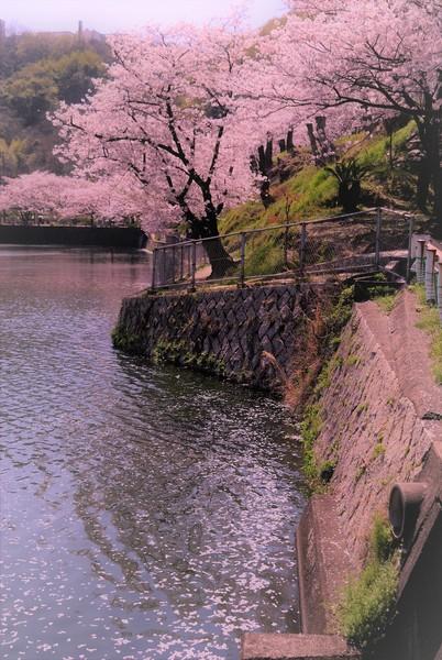 広島県福山市 仲富池桜公園