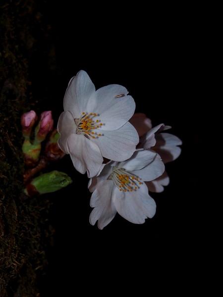 群馬県前橋市 赤城南面千本桜