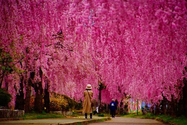 喜多方市日中線しだれ桜並木