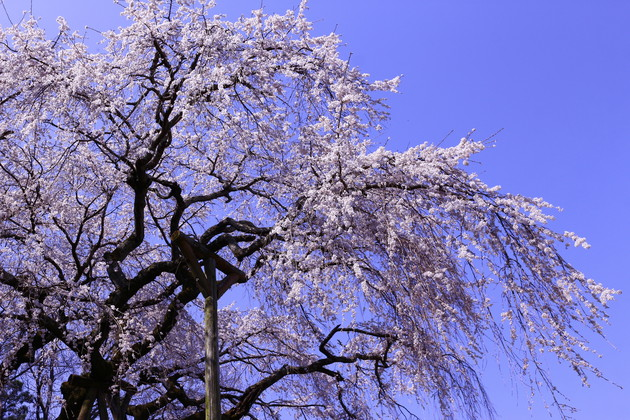 岡崎市 奥山田のしだれ桜