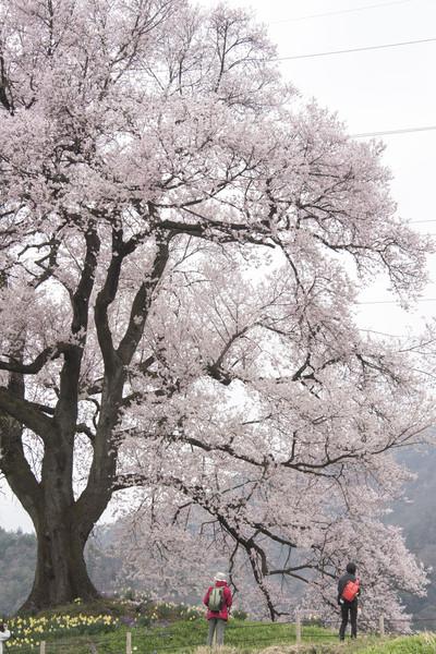 山梨県韮崎 王仁塚の桜