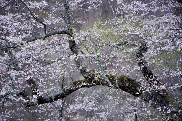 長野県阿智村 駒つなぎの桜