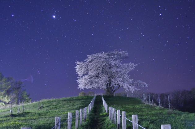 岩手県八幡平市為内の一本桜
