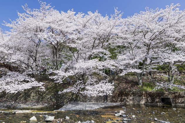 七谷川桜公園、亀岡市