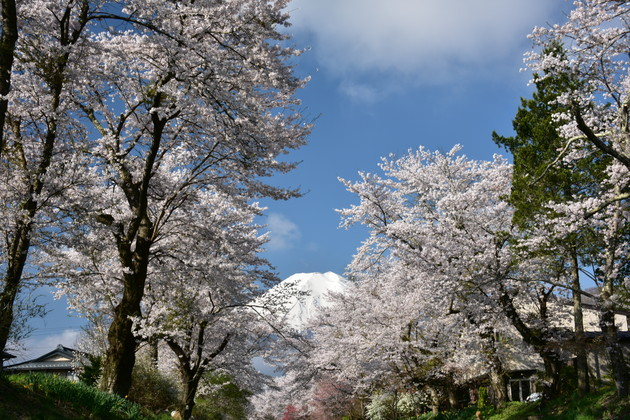 忍野村新名庄川沿いの桜並木