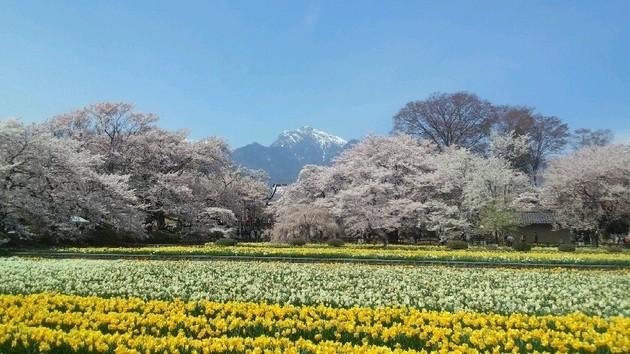 樹齢200年「山高神代桜」 山梨県北杜市