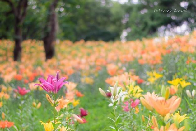 所沢ゆり園