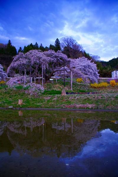 中島 地蔵桜