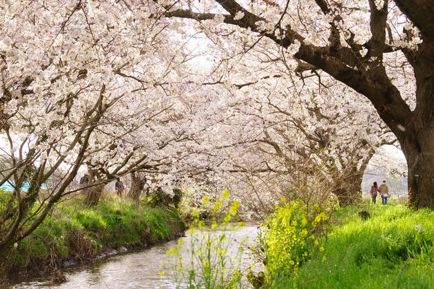白井 今井の桜
