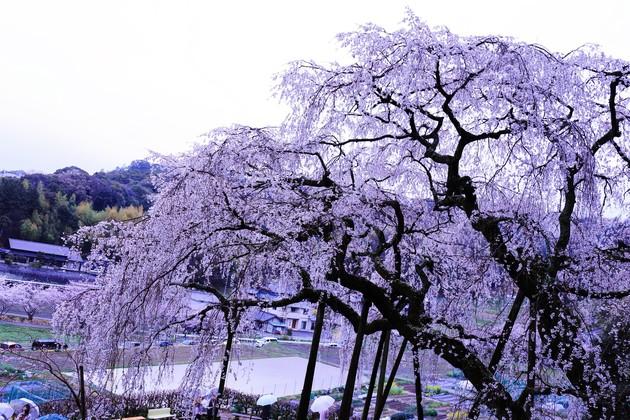 奥山田の枝垂桜、愛知県岡崎市