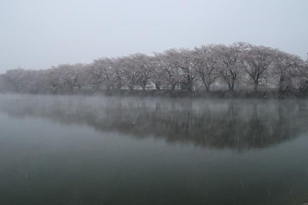 飯土井沼桜堤