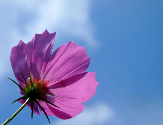 北海道帯広市~自宅から。夏空とコスモス。もう咲き終わりそうな気配
