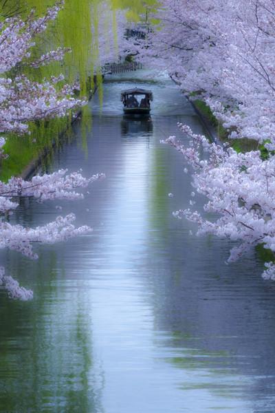 京都市伏見区東柳町 宇治川派流の桜