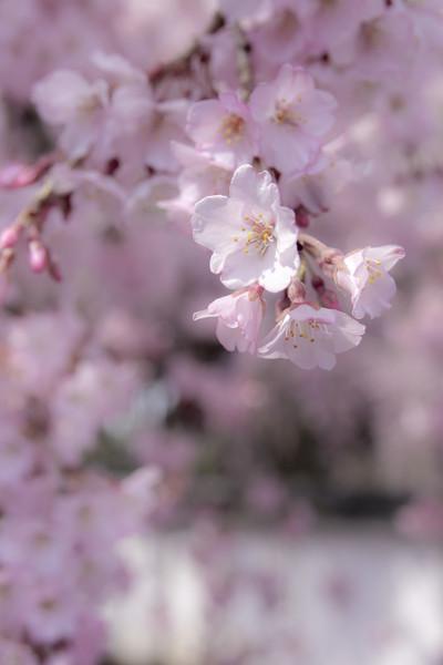 京都 醍醐寺のしだれ桜