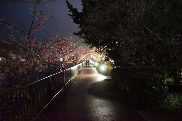 河津町の河津桜(伊豆)