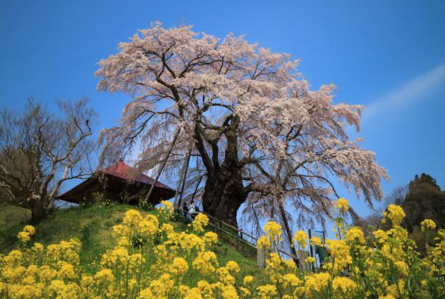 上石の不動桜、福島県郡山市
