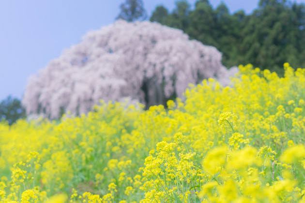 合戦場の枝垂れ桜