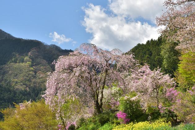 あきる野市龍珠院付近の枝垂桜
