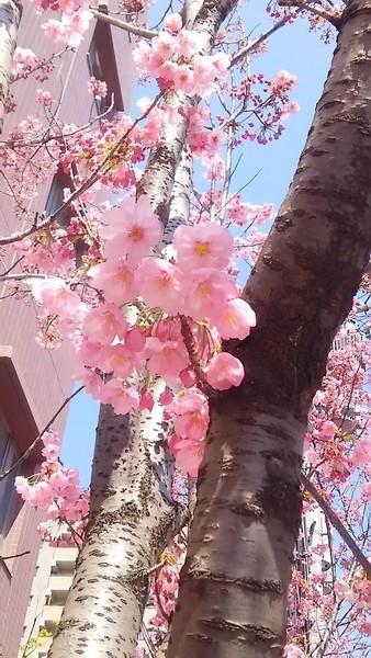 大阪友渕町の街路樹に咲いている陽光桜