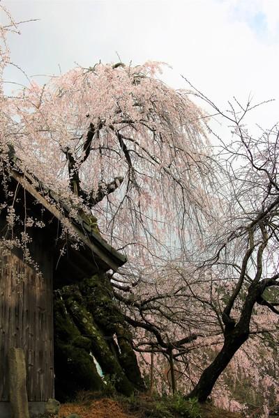 愛媛県内子町「石畳東の枝垂れ桜」
