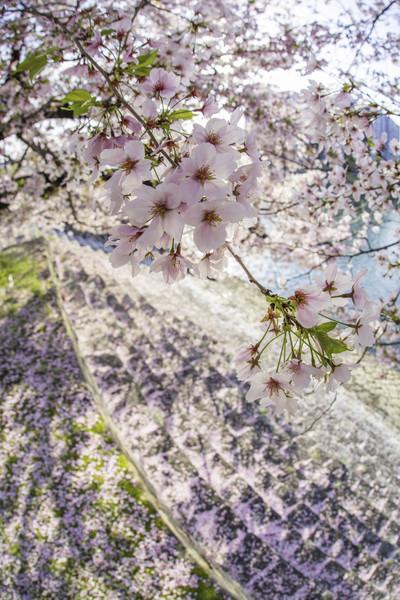 広島市中区楠大雁木桜