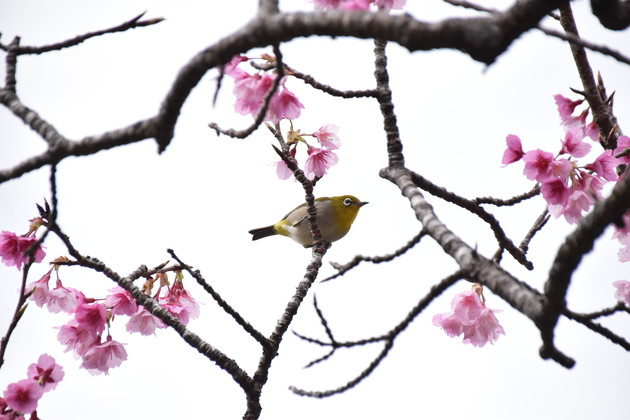 本部八重岳桜まつり