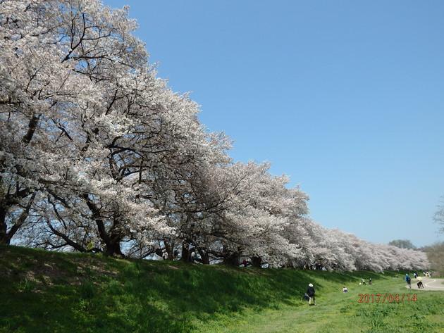 京都府八幡市淀川河川公園背割堤桜並木