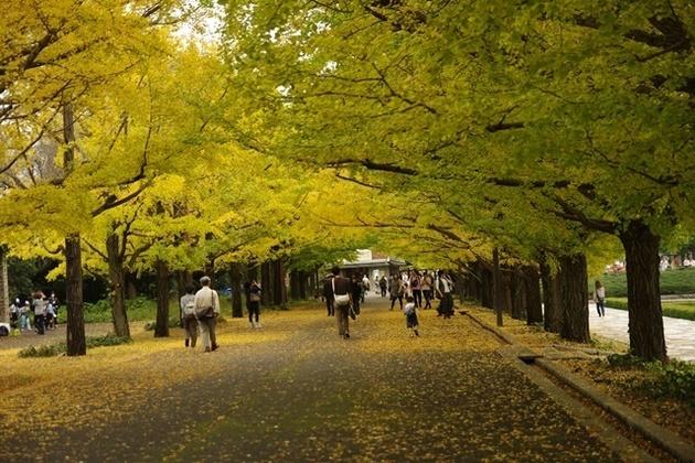 銀杏並木@昭和記念公園